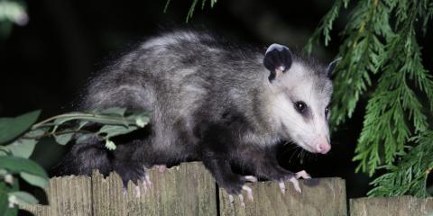 3 Ways to Keep Opossums Off Your Property, Miami, Ohio