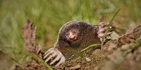 Digging Up Destruction: Call an Animal Removal Service to Deal With Moles, Miami, Ohio