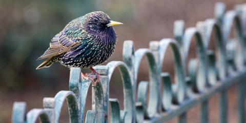 Wildlife Removal Experts Discuss 3 Ways to Keep Starlings Off Your Property , Miami, Ohio