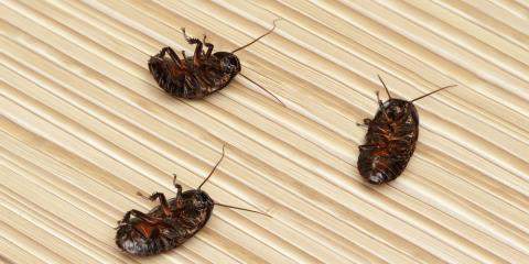 Pest Control Experts Discuss German Cockroaches, Bolivar, Missouri