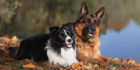 Which Pet Vaccines Do Adult Dogs Need?, Clarksville, Maryland
