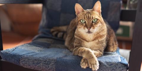 A Quick Guide to Arthritis in Cats, Columbia, Missouri