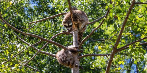 3 Signs a Raccoon Has Rabies, Concord, North Carolina