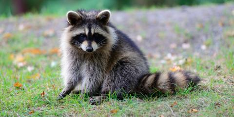 4 Ways to Keep Raccoons From Being a Bother, New Milford, Connecticut
