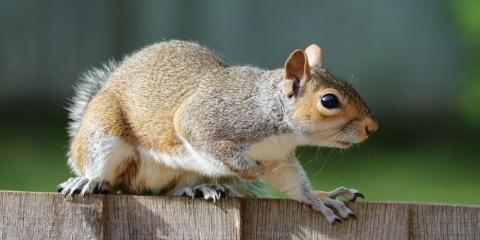 How to Remove a Squirrel From Your Attic, Daleville, Alabama