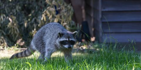 3 Easy Tips to Keep Raccoons Away This Fall, New Milford, Connecticut