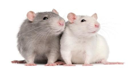 What does rat/mice droppings look like? Pest Control?, Mobile, Alabama