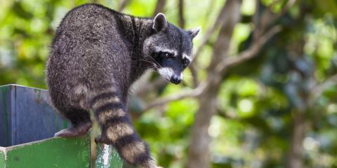 3 Wildlife Control Tactics to Keep Raccoons Out of Your Garbage, St. Louis, Missouri