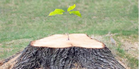 Can Trees Regrow From a Stump?, Kalispell, Montana
