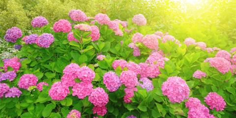 Help Your Garden Look Its Best With These Pinky Winky Hydrangea Pruning Tips!, Colerain, Ohio