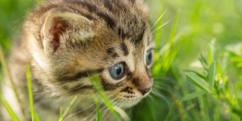 Oahu Veterinarian Explains What You Can Expect During Your Kitten's First Year, Wahiawa, Hawaii