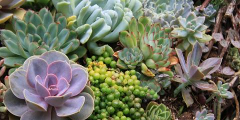 Hilo Plant Nursery Shares Top 5 Tips to Care for Succulents, Hilo, Hawaii