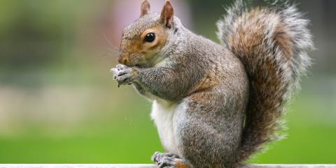 How Do Squirrels Get Inside the House?, Mooresville, North Carolina
