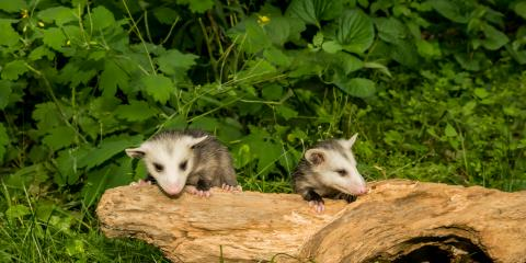 What's the Difference Between an Opossum & Raccoon?, New Milford, Connecticut