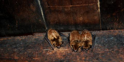 3 Common Areas in Your Home Where Bats Hide, Dayton, Ohio