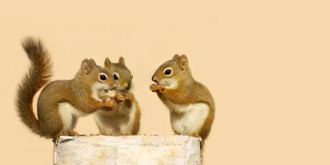 Do You Need Squirrel Removal Services? 4 Ways to Know, St. Louis, Missouri