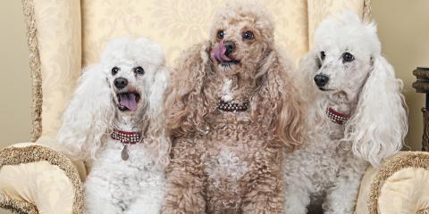 3 Tips for Grooming Poodles at Home, Fairbanks North Star, Alaska