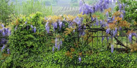 A Guide to Growing Fence-Friendly Vines, Green, Ohio