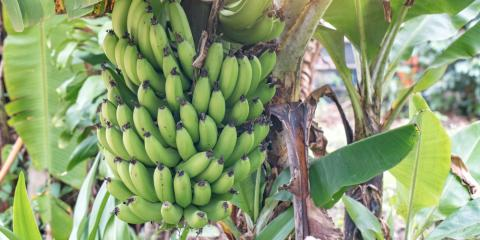 How to Care for a Banana Tree In Your Tropical Garden, Kihei, Hawaii