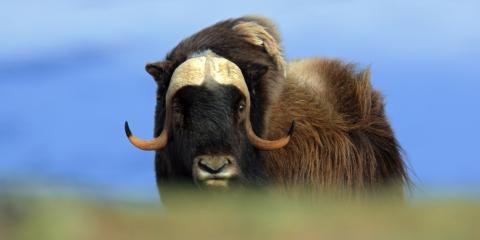 A Guide to the Musk Ox's Undercoat, Anchorage, Alaska