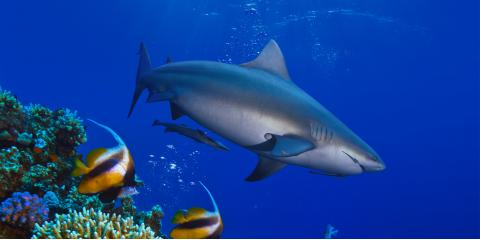 Why Shark Conservation Is Important, Waialua, Hawaii
