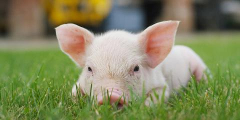 3 Diet Tips for Potbelly Pigs, Fairport, New York