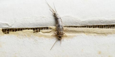 Everything You Need to Know About Silverfish, San Fernando Valley, California