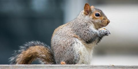 3 Tips for Keeping Squirrels Out of Your Attic This Spring & Summer, ,