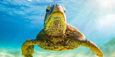 3 Fun Facts About Hawaiian Green Sea Turtles, Waianae, Hawaii