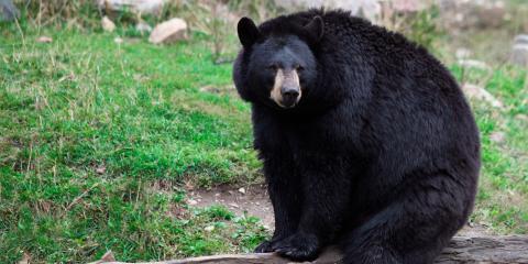 A Guide to Black Bears In West Virginia, Huntersville, West Virginia