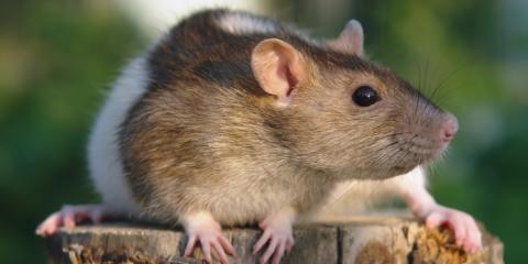 5 Tips for Rodent Control, Wailuku, Hawaii