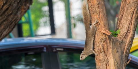 How to Deter Squirrels From Living in Your Car, New Milford, Connecticut