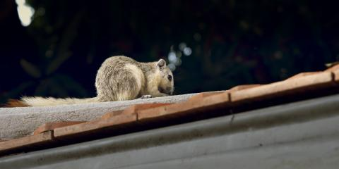 How to Humanely Remove Squirrels From Your Home, New Milford, Connecticut