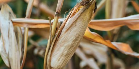 3 Common Insects That Can Destroy Your Crops, Beatrice, Nebraska