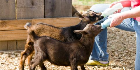 A Brief Guide to Raising Goats, Middlefield, Ohio