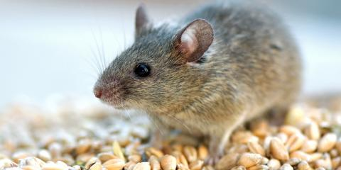 3 Clear Signs You Need Mouse Removal Services, Rochester, New York