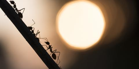 5 Types of Ant That Could Infest Your Home, St. Louis, Missouri