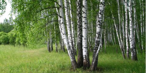 A Brief Guide to Birch Tree Maintenance, Anchorage, Alaska