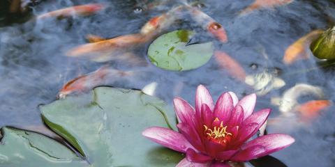 Protect Your Water Features & Clean Your Koi Pond Naturally, Koolaupoko, Hawaii
