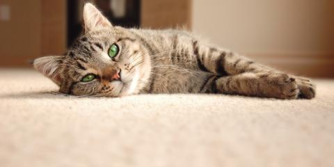 Why You Need Professional Pet Stain Removal, Chesterfield, Missouri