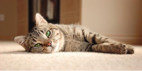 The Essential Guide to Removing Pet Stains From Carpet, Chesterfield, Missouri