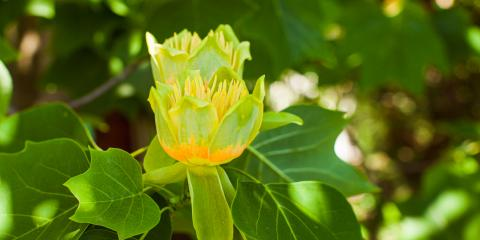 A Quick Guide to the Tulip Tree, 9, Tennessee