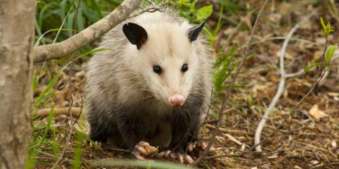 3 Signs You Have Opossums on Your Property, New Milford, Connecticut