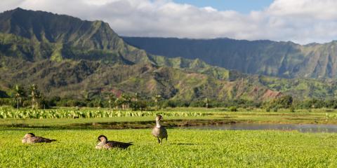 How Rats Have Impacted Hawaii's Ecosystem, Lihue, Hawaii