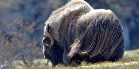 Learning About the Impressive Musk Ox, Anchorage, Alaska