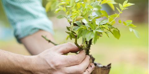 3 Tips for Planting a New Tree, Ewa, Hawaii