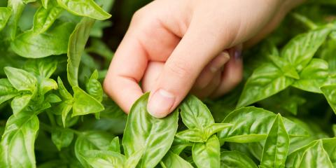 3 Health Benefits of Basil, Anchorage, Alaska