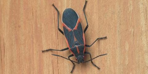Answers to Commonly Asked Questions About Boxelder Bugs , Eagan, Minnesota