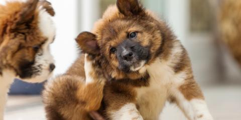 What to Do When Your Pet Has Fleas, Hilton, New York
