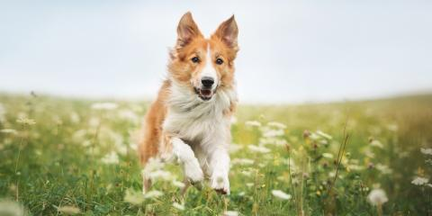 Are There Behavior Changes After Spaying or Neutering a Dog?, Columbia, Missouri